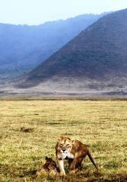 Lioness and cubs in the Ngorogoro Crater.