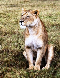 African lioness in the Ngorogoro Crater.