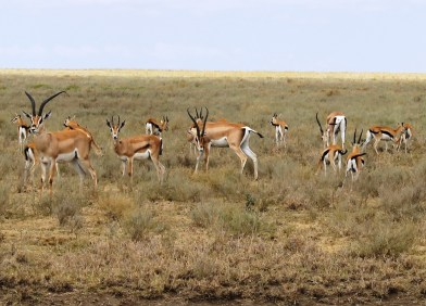 Thomson Gazalle in the Serengeti National Park, Tanzania