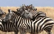 Zebras in the Serengeti National Park