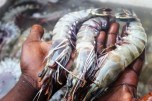 Fresh tiger prawns at Kivukoni Fish Market in Dar Es Salaam, Tanzania
