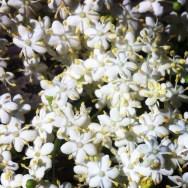 Elderflowers in full bloom in the hedgerows