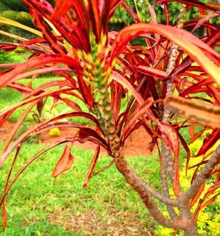 Madagascar Dragon Tree