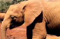 Elephant at the the David Sheldrick Wildlife Trust in Nairobi