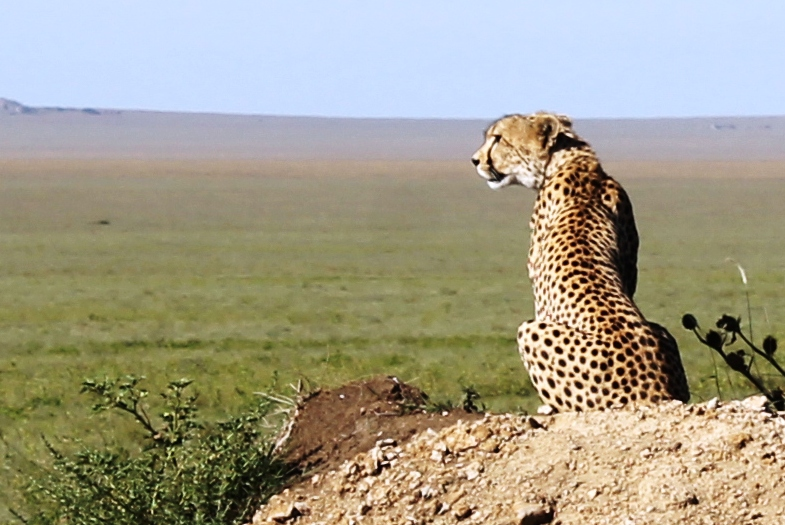 Cheetah on the lookout in the Serengeti National Park