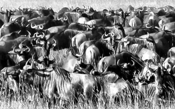 Wildebeest migration in the Serengeti, Tanzania