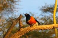 A superb starling on the banks of Lake Naivasha, Kenya