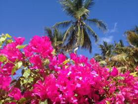 Bougainvillea and palm trees in Mombasa, Kenya