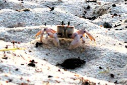 Little crab on the beach in Mombasa, Kenya