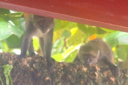 Monkeys on our balcony at the Serena Beach Hotel Mombasa, Kenya
