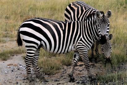Zebras in Amboseli National Park, Kenya