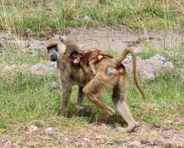 Mother baboon with baby baboon on her back in Amboseli National Park, Kenya
