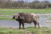 Buffalo and birds in Amboseli National Park, Kenya