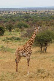 Giraffe at Amboseli National Park, Kenya