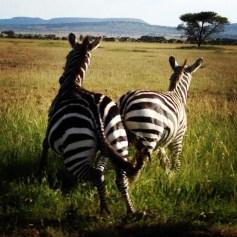 Zebra crossing in the Ngorogoro Crater in Tanzania