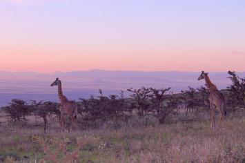 Zebras and giraffes in the Ngorogoro Crater in Tanzania