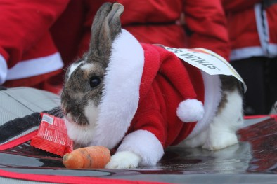 Bunny rabbit nibbling on a pre-race carrot at the 2018 Santa Fun Run