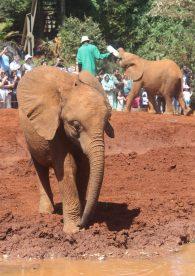 Elephants at the the David Sheldrick Wildlife Trust in Nairobi