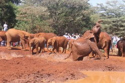 Elephants enjoying a mud bath at the the David Sheldrick Wildlife Trust in Nairobi