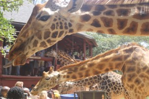 Feeding the giraffes at the Giraffe Centre in Nairobi