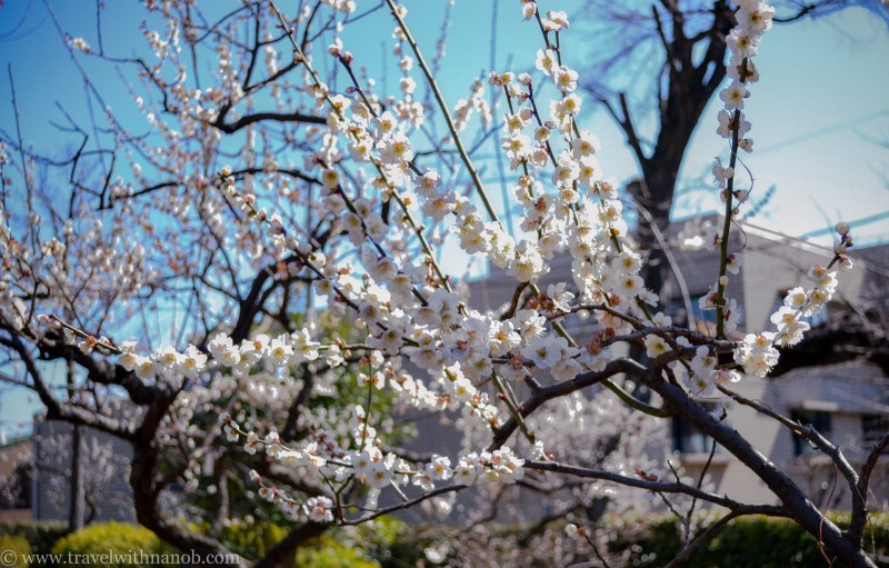 ume-and-sakura-blossom-2