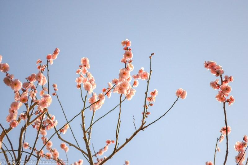 ume-and-sakura-blossom-9
