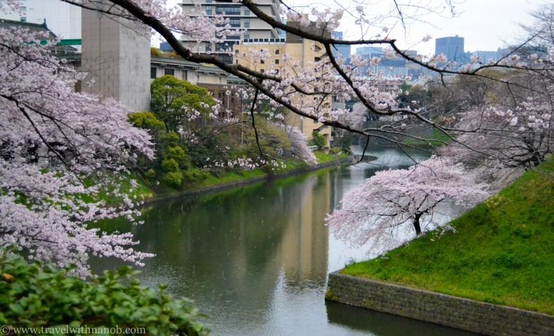 cherry-blossom-tokyo-4