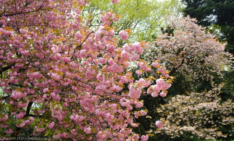 yaezakura-cherry-blossom-9
