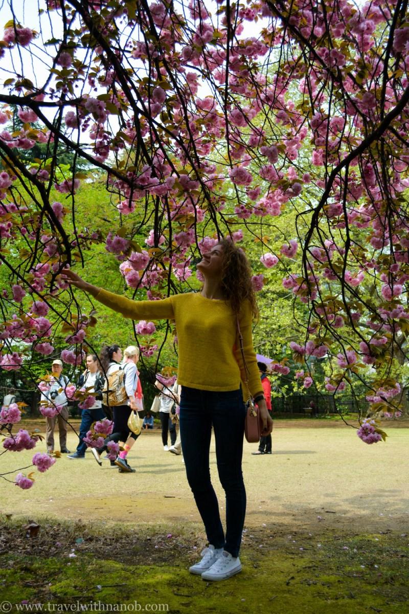 yaezakura-cherry-blossom-13