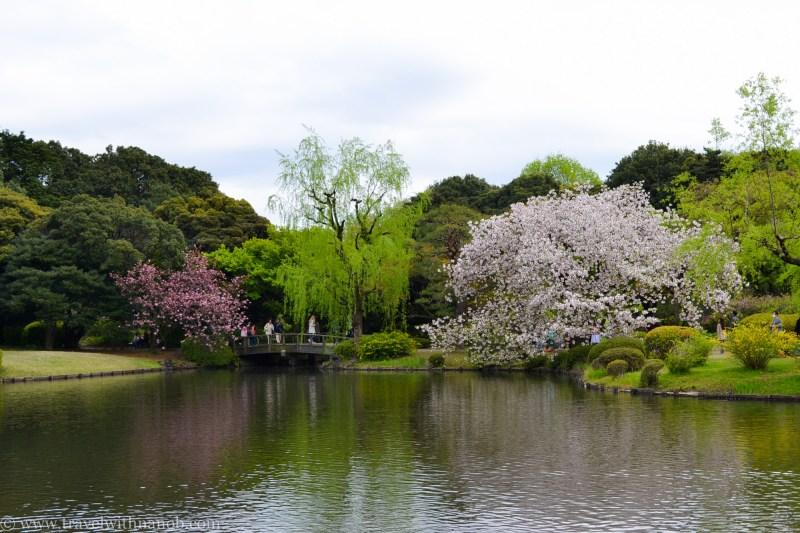 yaezakura-cherry-blossom-19