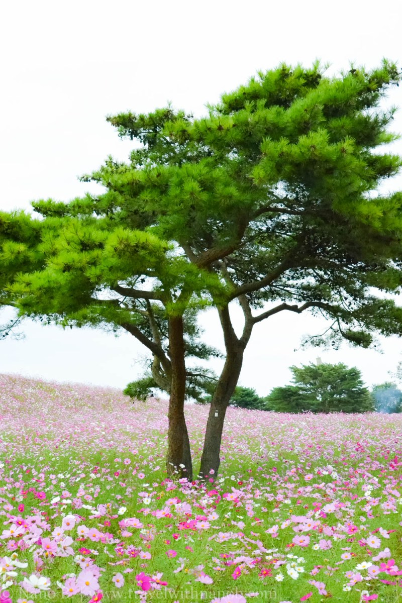 kochia-hitachi-seaside-park-19
