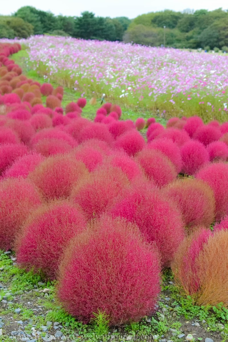 kochia-hitachi-seaside-park-25