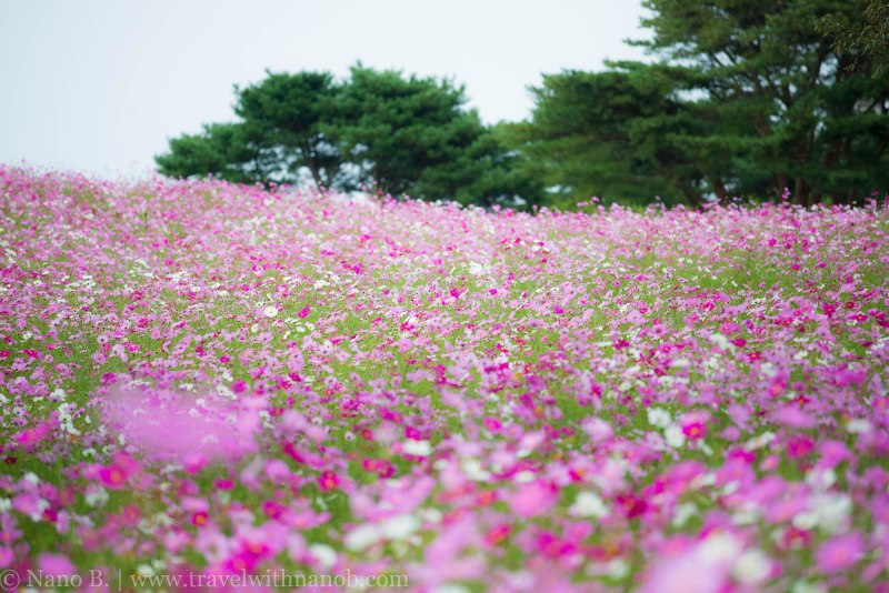 kochia-hitachi-seaside-park-3