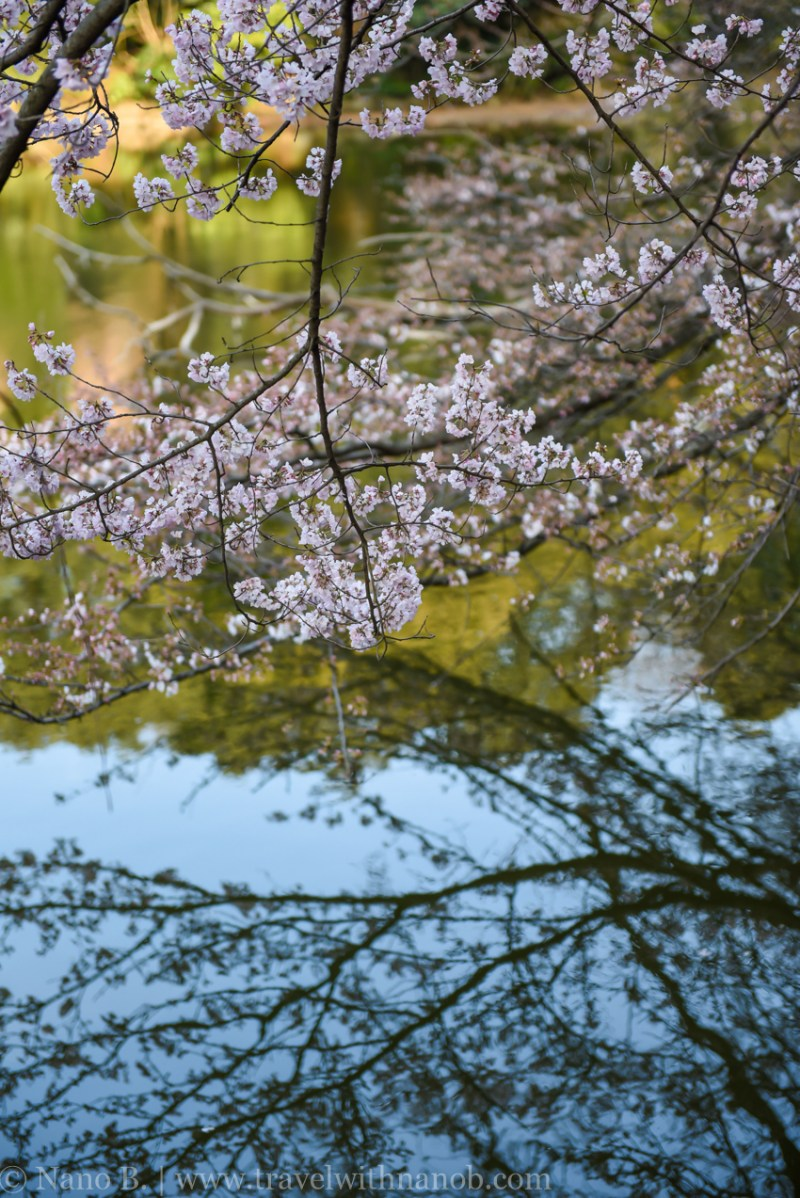cherry-blossom-tokyo-47