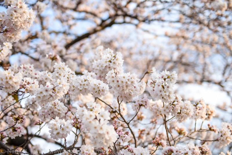 cherry-blossom-tokyo-71