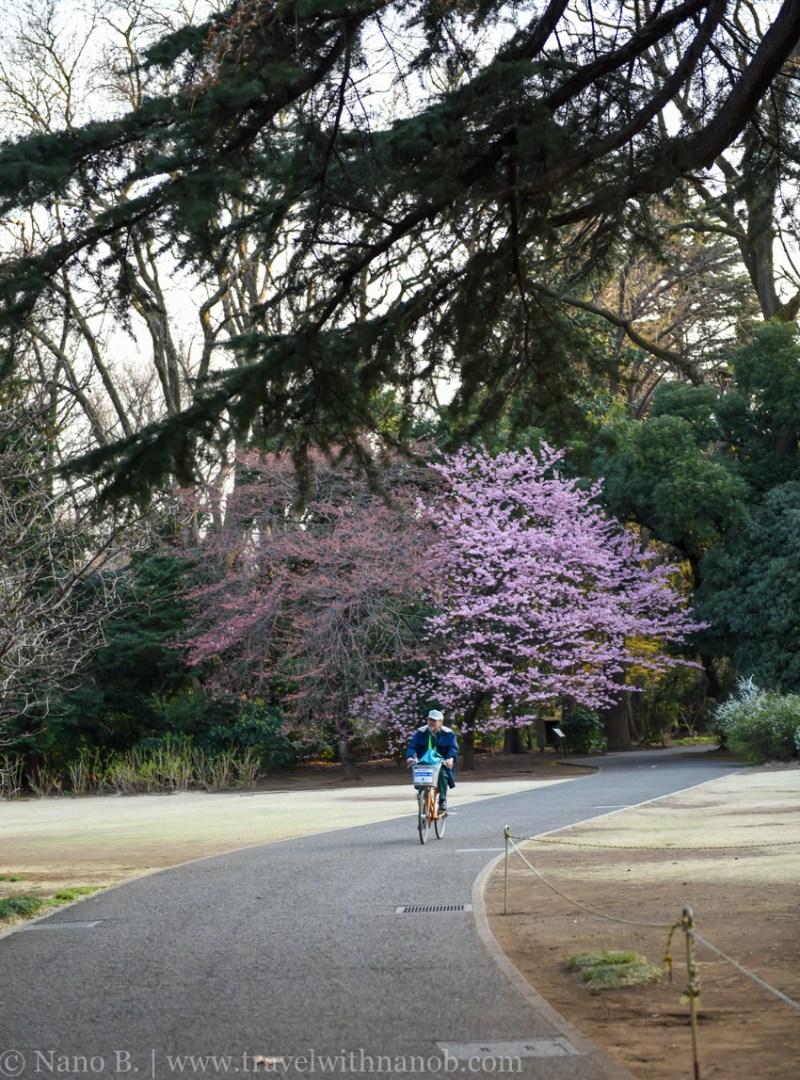 cherry-blossom-tokyo-78