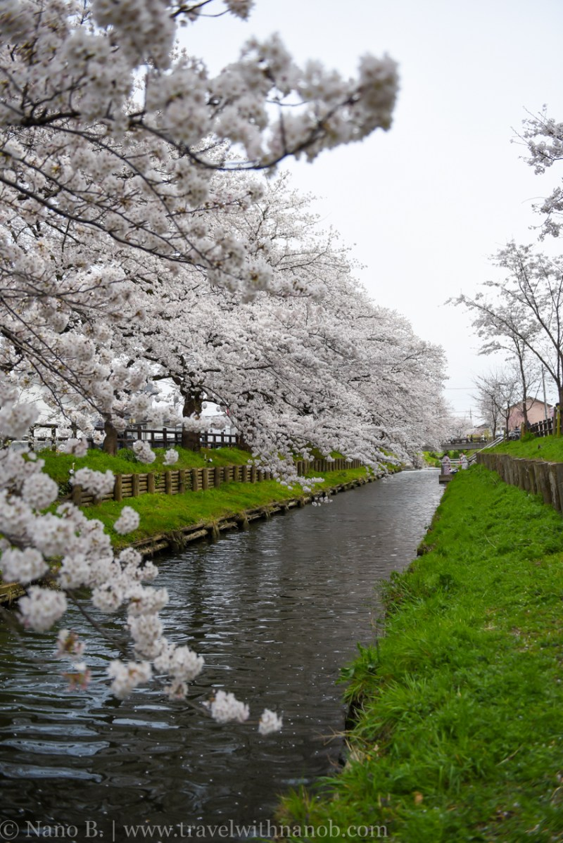 Kawagoe-Cherry-Blossom-12