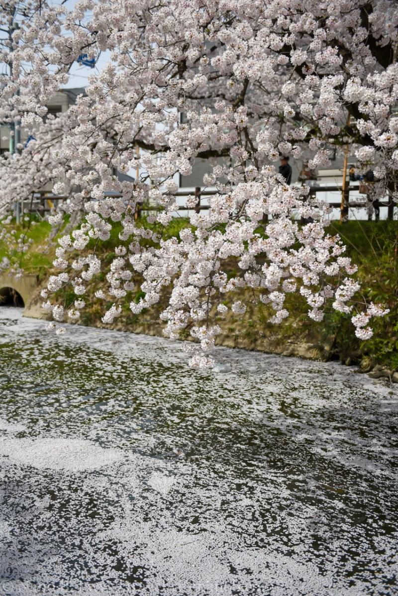 Kawagoe-Cherry-Blossom-16