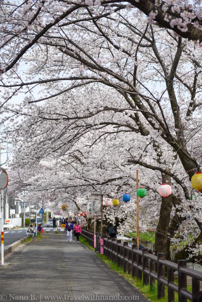 Kawagoe-Cherry-Blossom-46