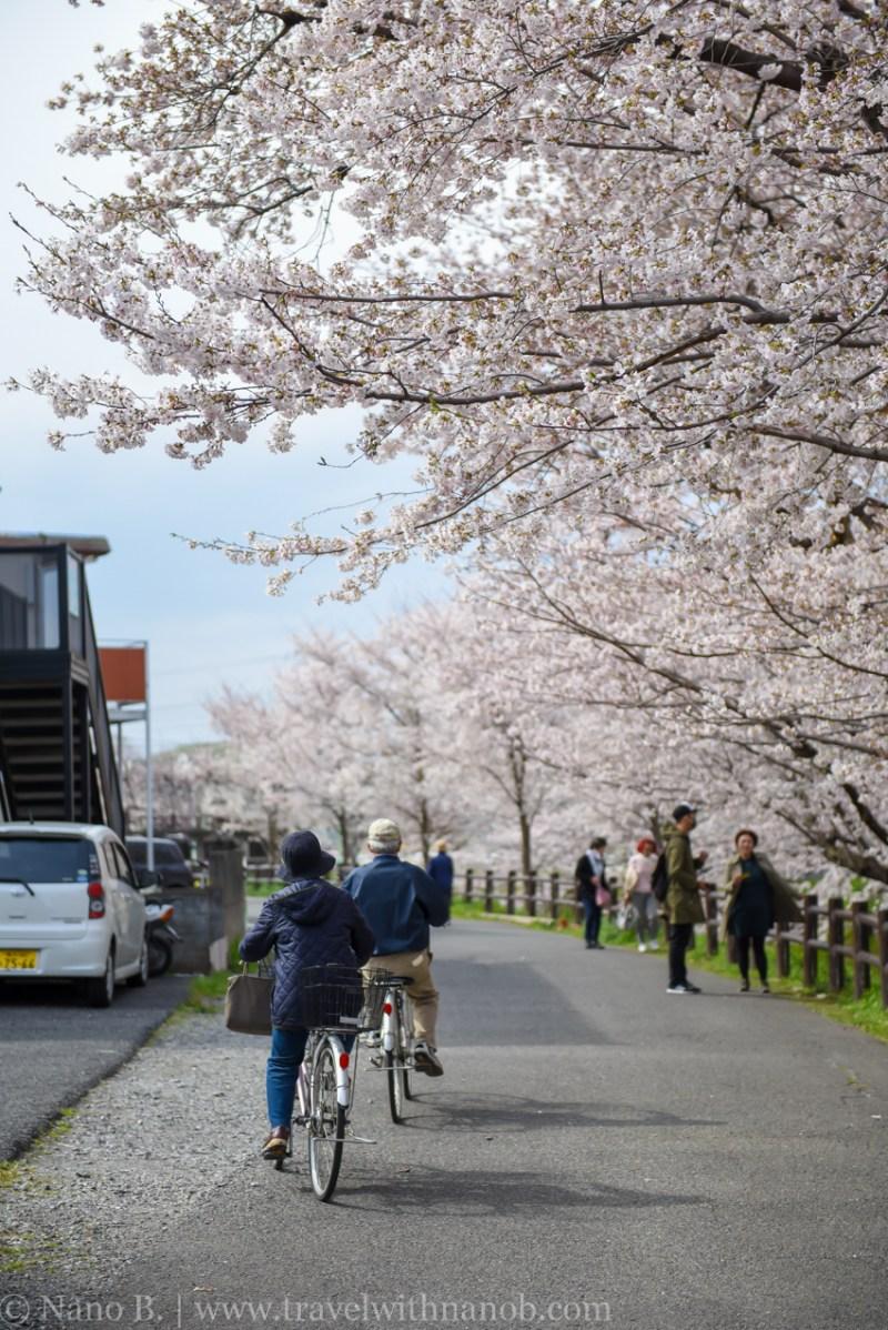 Kawagoe-Cherry-Blossom-49