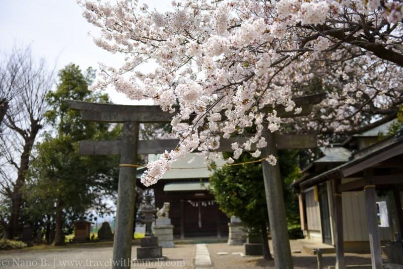 Kawagoe-Cherry-Blossom-5
