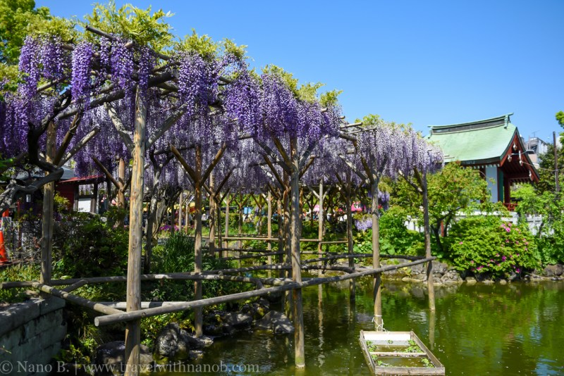 wisteria-in-kameido-tenjin-19