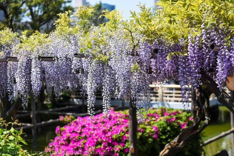 wisteria-in-kameido-tenjin-2