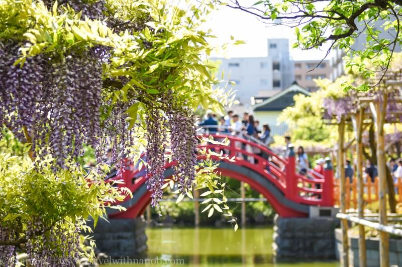wisteria-in-kameido-tenjin-28