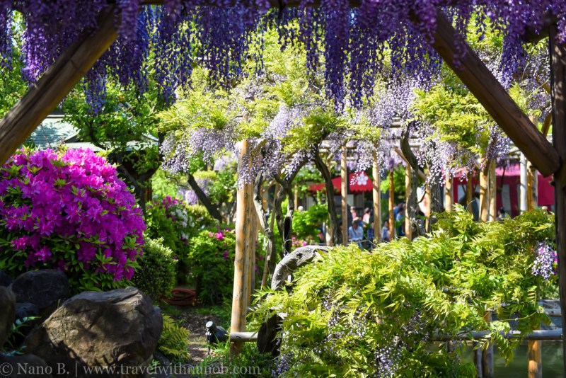 wisteria-in-kameido-tenjin-39
