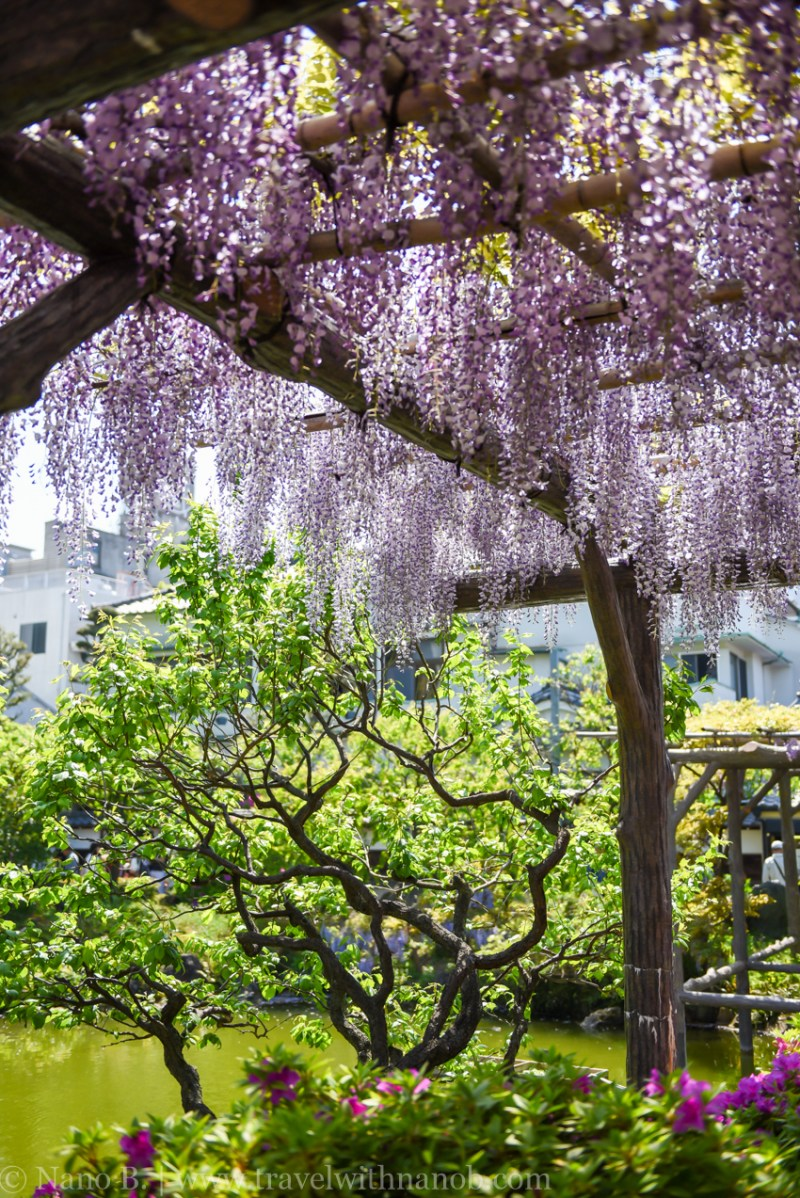 wisteria-in-kameido-tenjin-8