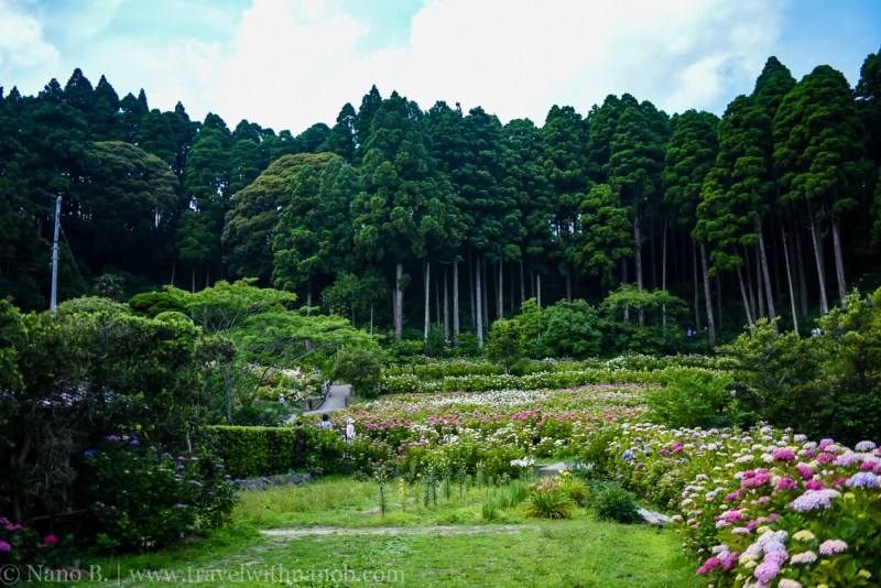 chiba-hydrangea-garden-14