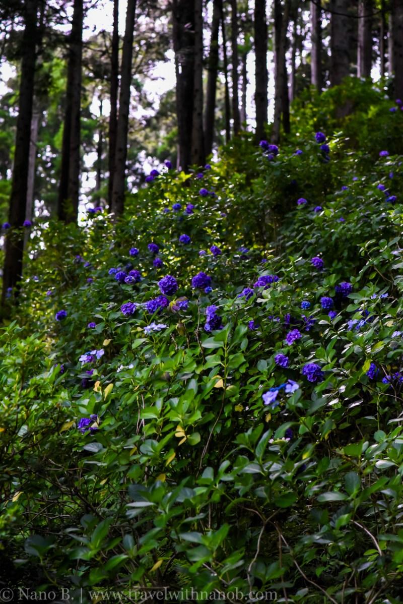 chiba-hydrangea-garden-29