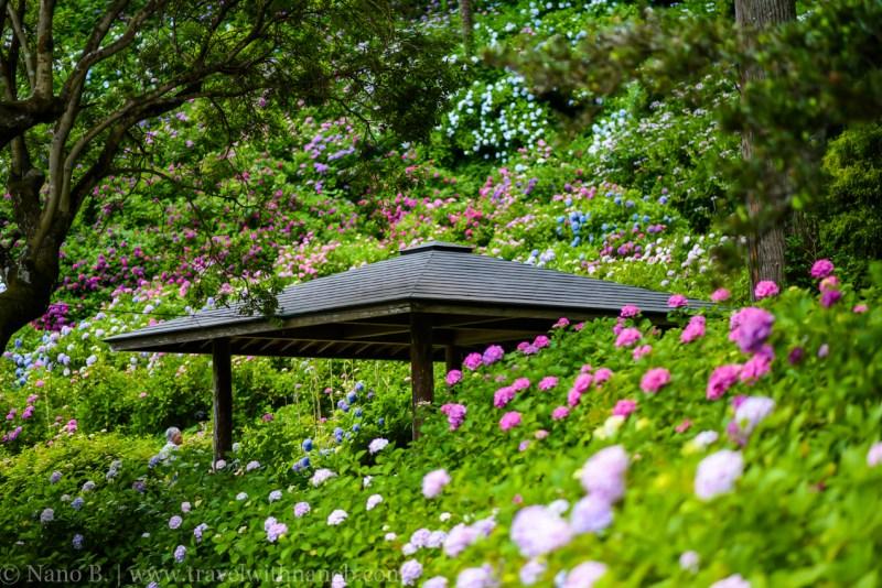 chiba-hydrangea-garden-36