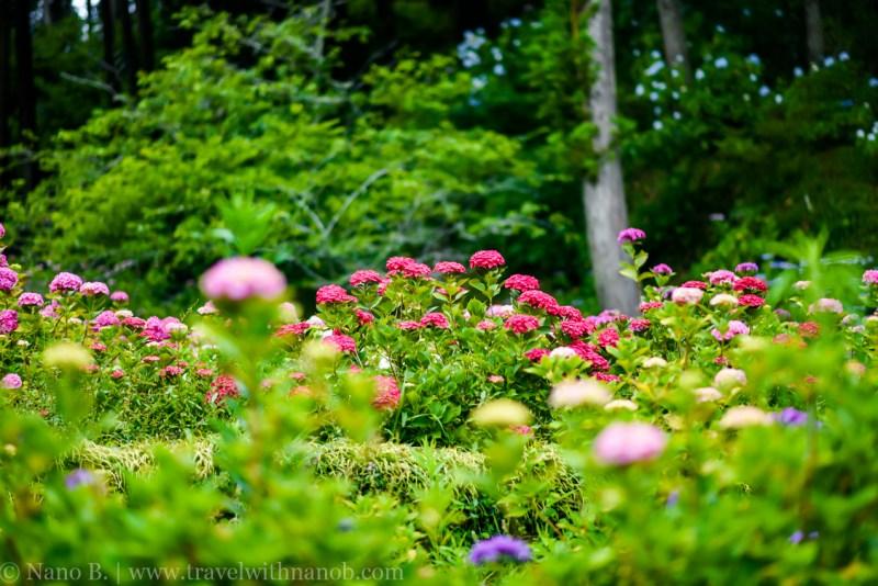chiba-hydrangea-garden-42